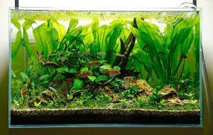 Các loại cây thủy sinh đẹp