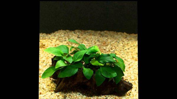 cây ráy thủy sinh