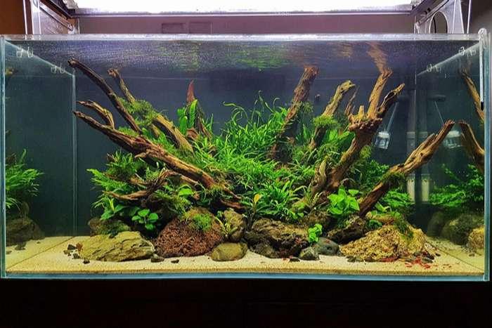 Cây dương xỉ trong bể cá