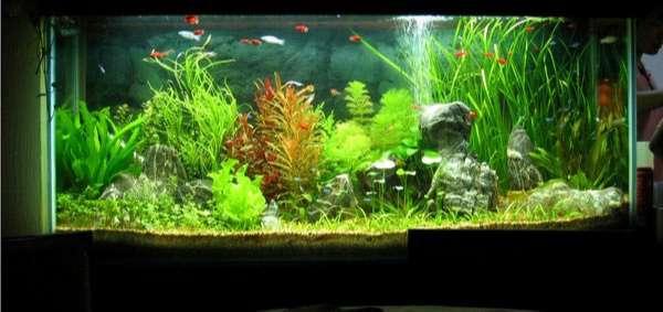 Ngô công thảo trong bể cá