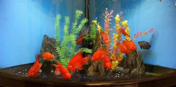 Rong la hán trong bể cá