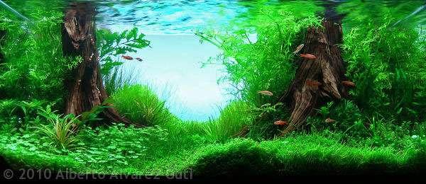 Thủy cúc trong hồ thủy sinh