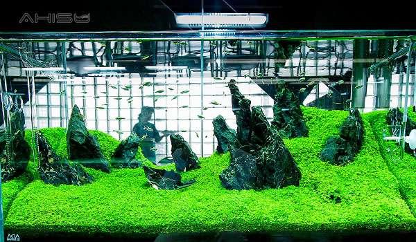 Trân châu trong bể cá