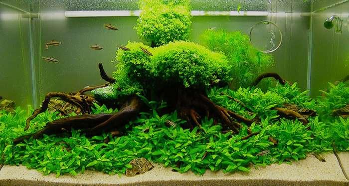 Cây thủy sinh trân châu