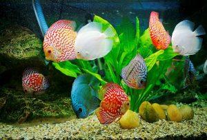 Tự tay thiết kế bể cá cảnh nước ngọt